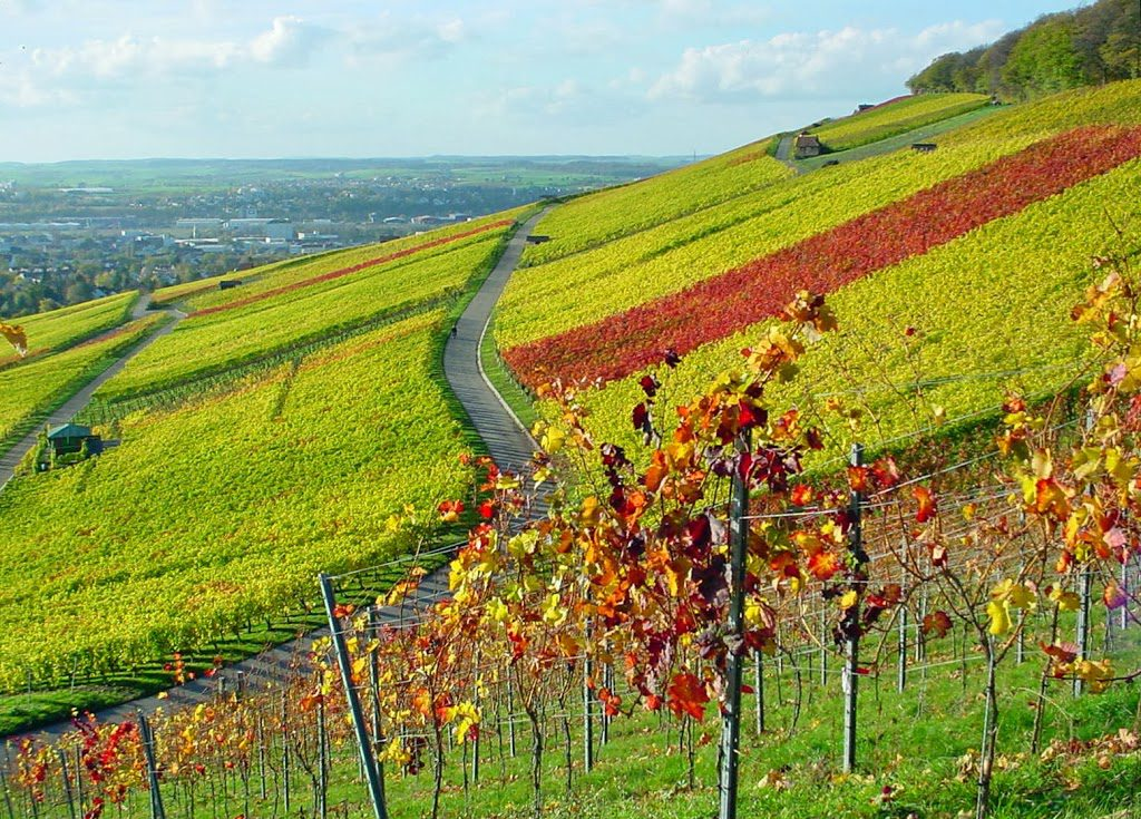 Autumn-in-Heilbronn-Vineyards